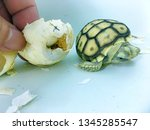 Stock photo close up baby tortoise hatching african spurred tortoise birth of new life cute baby animal 1345285547