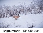 Stock photo wild brown hare running in snow lepus europaeus 1345303334