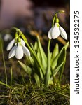 Small photo of Snowdrops in the grass on a magenta-ish background/Snowdrop/