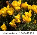 A Closeup Of Gorse In Flower.