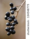 Small photo of Black alder buckthorn (Frangula alnus) berries on a sunny autumn day