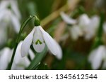 close up of common snowdrops ... | Shutterstock . vector #1345612544