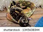 multicolored cat laying on her... | Shutterstock . vector #1345638344