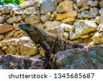 reptile that sunbathes on the... | Shutterstock . vector #1345685687
