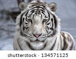face to face with white bengal... | Shutterstock . vector #134571125