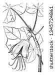 hand flower is the common name... | Shutterstock .eps vector #1345724861