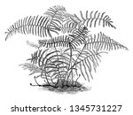 this is image of gleichenia... | Shutterstock .eps vector #1345731227