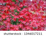 autumn colorful red maple leaf... | Shutterstock . vector #1346017211
