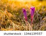 crocus violet in spring with...   Shutterstock . vector #1346139557