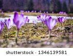 crocus violet in spring with...   Shutterstock . vector #1346139581
