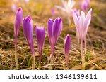 crocus violet in spring with...   Shutterstock . vector #1346139611