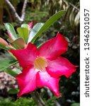 Calachuchie Flower Red Flower...