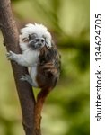 The Cotton Top Tamarin ...