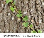 Cedar Tree Trunk Texture And...