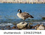 Beautiful Majestic Canada Goose ...