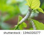close up silkworm eating... | Shutterstock . vector #1346320277