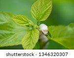 close up silkworm eating... | Shutterstock . vector #1346320307