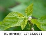 close up silkworm eating... | Shutterstock . vector #1346320331