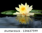 Beauty Water Lilly Flower