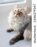 grey furry cat on the window on ... | Shutterstock . vector #1346379347