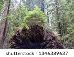 tree growing out of the roots... | Shutterstock . vector #1346389637