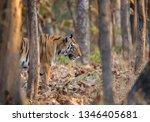 tigress cmoing out of treeline... | Shutterstock . vector #1346405681