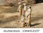 family of cute mammals meerkats ... | Shutterstock . vector #1346413157