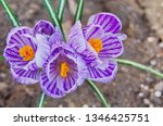 purple primroses spring...   Shutterstock . vector #1346425751