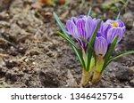 purple primroses spring...   Shutterstock . vector #1346425754