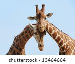 Giraffe Couple In Love With...