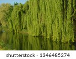 close up of weeping willow tree ... | Shutterstock . vector #1346485274
