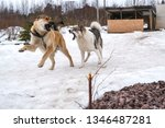 big dogs playing in the snow... | Shutterstock . vector #1346487281