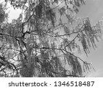 close up of weeping willows... | Shutterstock . vector #1346518487