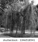 close up of weeping willows... | Shutterstock . vector #1346518541