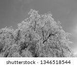 close up of weeping willows... | Shutterstock . vector #1346518544