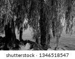 close up of weeping willows... | Shutterstock . vector #1346518547