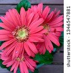 gerbera plant with flowers in... | Shutterstock . vector #1346547881
