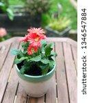 gerbera plant with flowers in... | Shutterstock . vector #1346547884