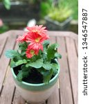 gerbera plant with flowers in... | Shutterstock . vector #1346547887