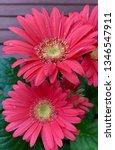 gerbera plant with flowers in... | Shutterstock . vector #1346547911