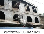pigeons and their extended... | Shutterstock . vector #1346554691