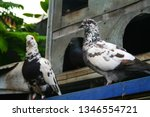 pigeons and their extended... | Shutterstock . vector #1346554721