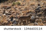a family of four cheetahs... | Shutterstock . vector #1346603114