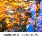 fancy carps fish or koi swim in ... | Shutterstock . vector #1346641097