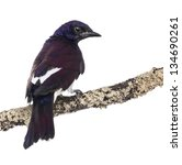 Small photo of Male Violet-backed Starling on a branch - Cinnyricinclus leucogaster - isolated on white