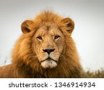 Stock photo south african wildlife lion 1346914934