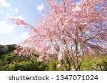 weeping cherry tree in japan | Shutterstock . vector #1347071024