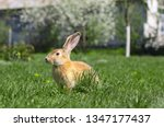 Stock photo beautiful cute rabbit on a green summer meadow hare walking on nature in the grass stock photo 1347177437