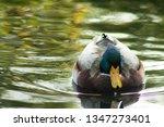 Mallard Duck Swimming In Dreamy ...