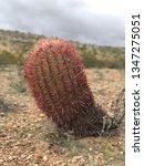 red barrel cactus | Shutterstock . vector #1347275051